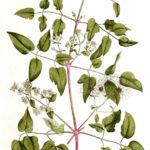 Skovranke (Clematis vitalba)