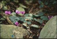 Alpeviol - Cyclamen coum