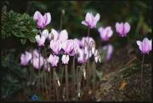 Alpeviol - Cyclamen hederifolium