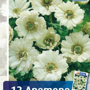 Anemone Mount Everest - 11 - Anemone double Mount Everest