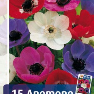 Anemone Single De Caen - 4 - Anemone Single De Caen