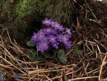 Blå Anemone - Hepatica nobilis