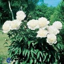 Bonderose Alba Plena - Paeonia officinalis Alba Plena