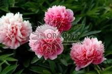 Bonderose Rosea Plena - Paeonia officinalis Rosea Plena