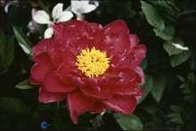 Bonderose Rubra Plena - Paeonia officinalis Rubra Plena