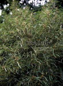 Fligbladet Tørstetræ - Rhamnus frangula Asplenifola