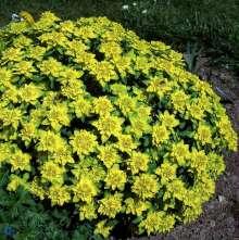 Forårs-Vortemælk - Euphorbia polychroma