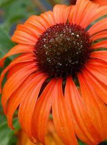 Purpursolhat - ECHINACEA pur. Tangerine Dream®