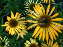 Purpursolhat Harvest Moon® - Echinacea purpurea Harvest...
