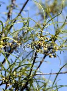 Tørst - Rhamnus frangula