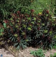 Vortemælk - Euphorbia amygdaloides Purpurea