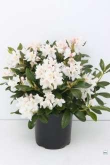 (cac.) Cunninghams White - R. caucasicum Cunninghams White